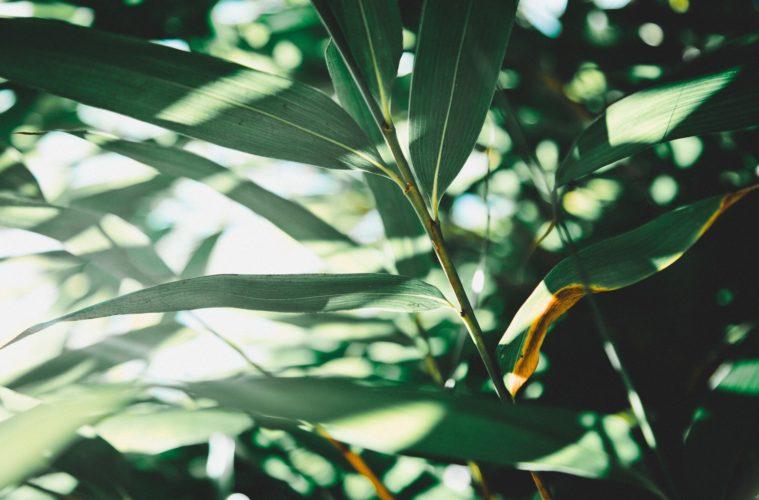 hoevaak moet een olijfboom water
